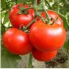 襄阳育大红西红柿苗厂 基地小番茄苗品种