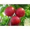 仙桃大粉西红柿育苗厂 果型好看番茄苗品种