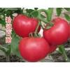潜江育粉西红柿苗厂 产量高番茄苗品种