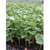 天门西红柿苗育苗厂 深粉大的番茄苗品种